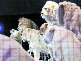 lion1白